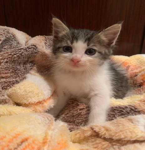 Отдам даром: Разноглазые котята Фреш и Шейк в дар