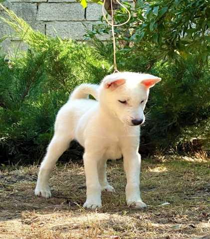 Продам: Щенки Японской собаки Кисю