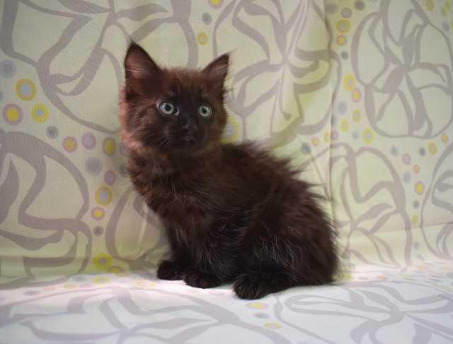 Отдам даром: Котёнок Милочка. Новосибирск