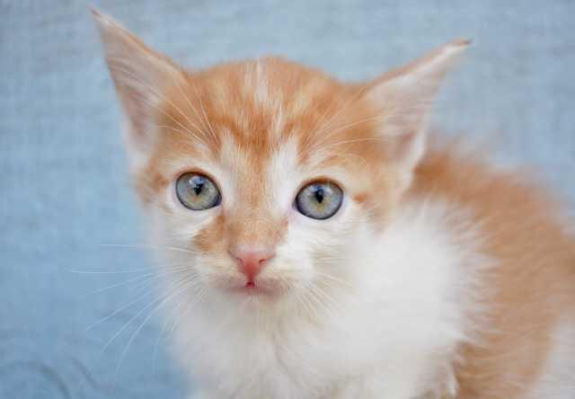 Отдам даром: Рыжие котята. Новосибирск