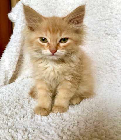 Отдам даром: Котенок Звездочка - рыжая хвостатая белк