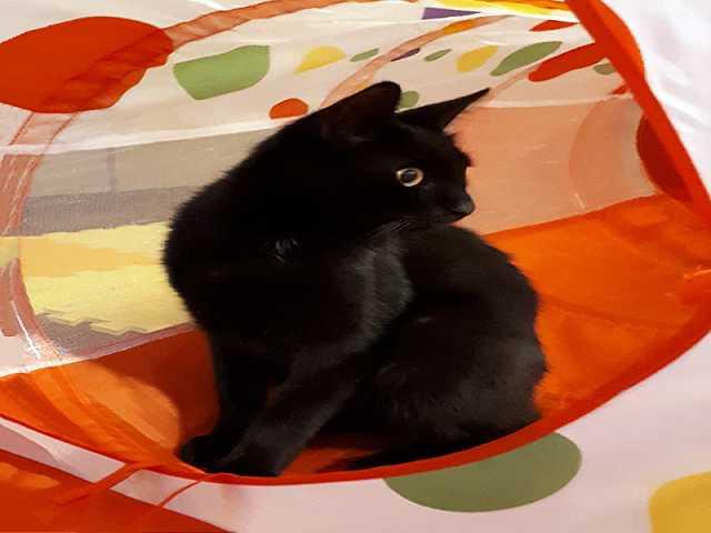 Отдам даром: Бэмби, чудесный домашний котик в дар