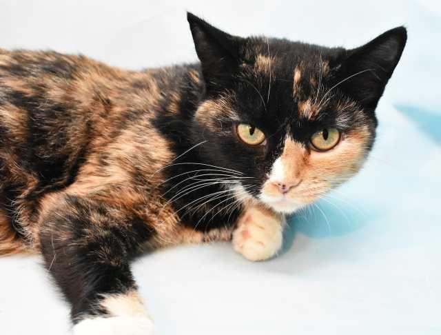 Отдам даром: Кошка Фёкла ищет хозяина