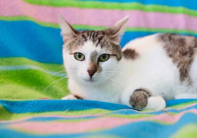 Отдам даром: Мисс очарование и обаяние, котенок Ляля