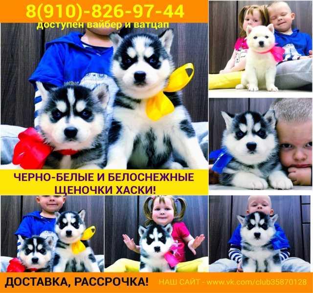 Продам: Шикарные щенятки хаски