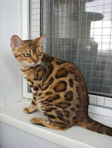 Продам: Бенгальская кошка 2 года