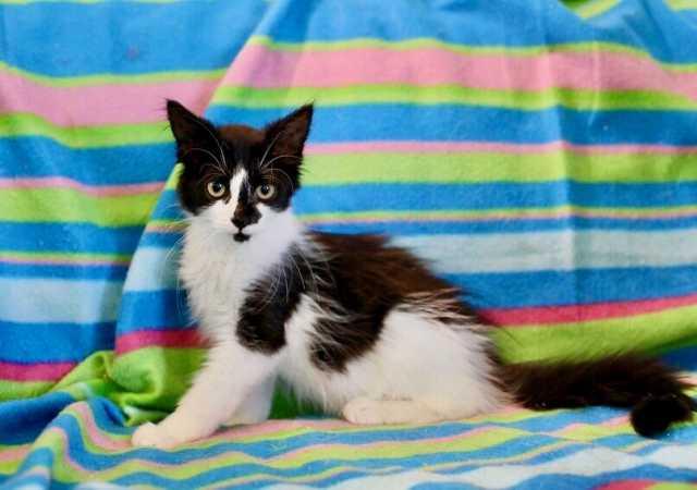 Отдам даром: Веселый энерджайзер котенок Джек Воробей