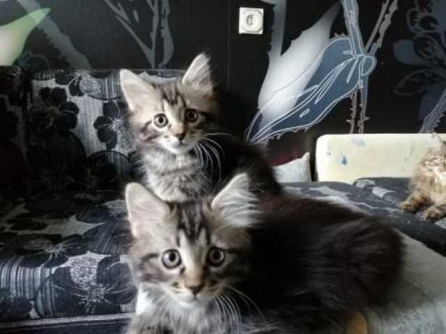 Продам: Котята Курильский бобтейл