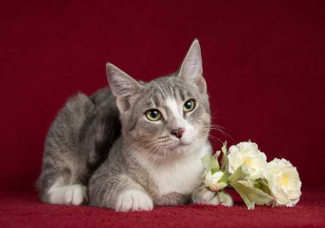Отдам даром: Табби на голубом — котенок Маффин