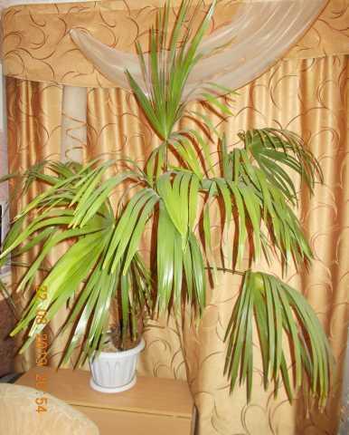 Продам: Пальма веерная