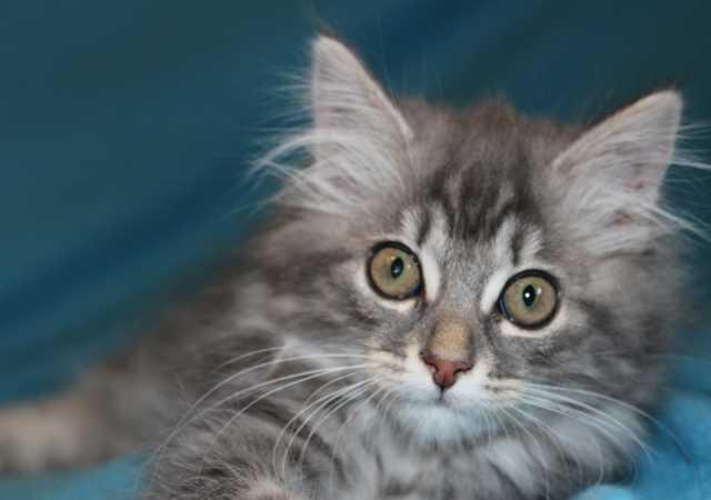 Отдам даром: Шотландские котята в дар