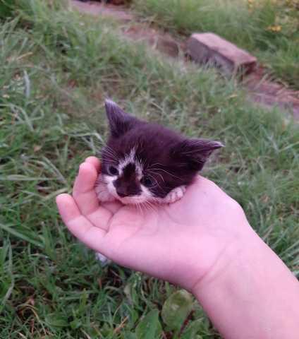 Отдам даром: Котята потомственные крыселовки