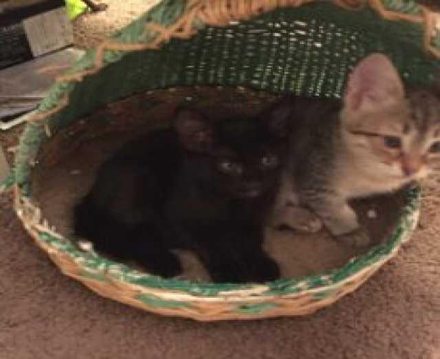 Отдам даром: Ласковые котятки