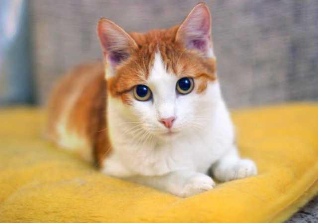 Отдам даром: Яркое солнышко котенок Симба в дар