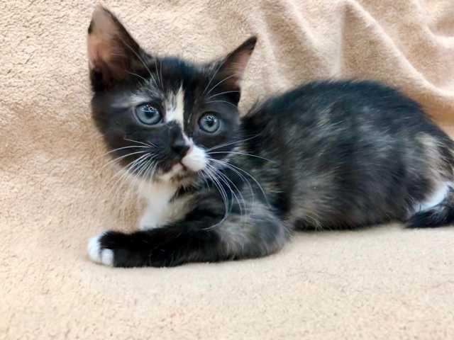 Отдам даром: Котенок Пеппа - воплощение позитива и ра