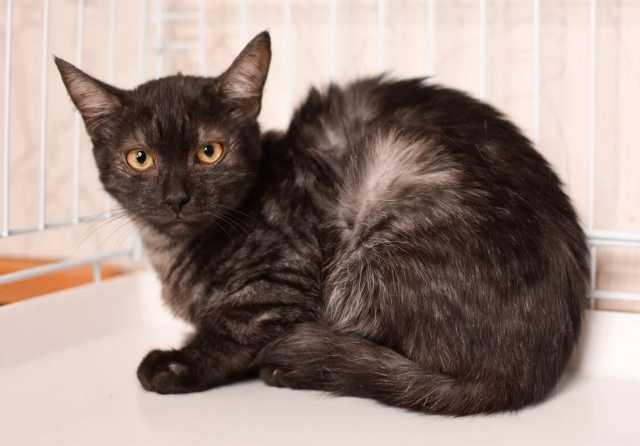 Отдам даром: Котенок уникального окраса черный дым Пе