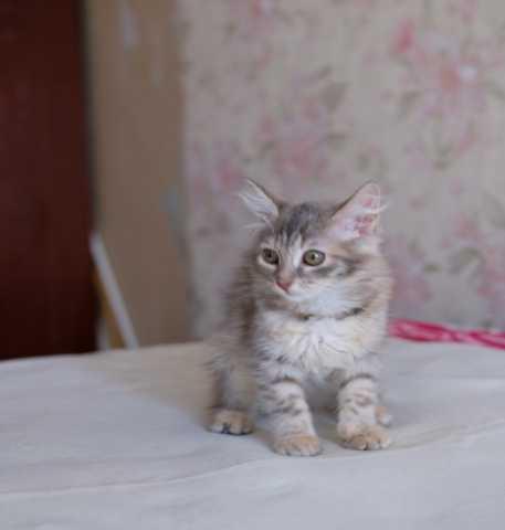 Продам: Пушистый котенок