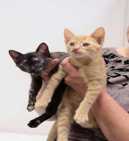 Отдам даром: Таша и Даня - котята самых дефицитных цв