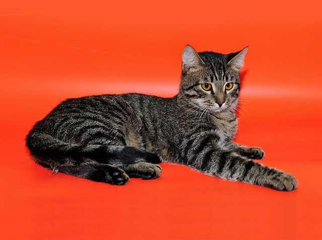 Отдам даром: Кевин, молодой домашний полосатый котик