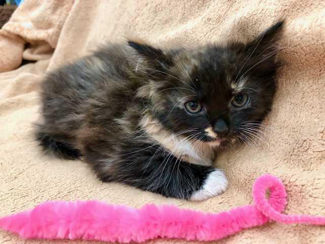 Отдам даром: Котёночка Сьюзи - девочка с огоньком в д