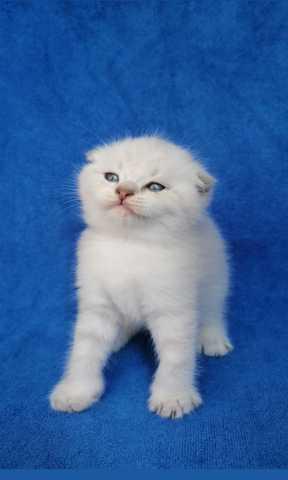 Продам: Шотландский вислоухий котёнок