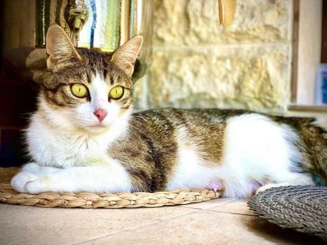 Отдам даром: Кошка-компаньон Лиза, ищет семью!