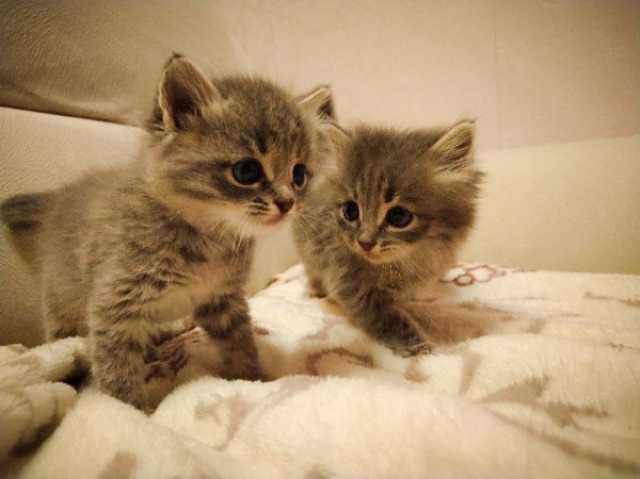 Отдам даром: Отдам двух серых котят в хорошие руки
