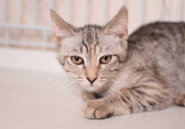 Отдам даром: Нежная котенок Принцесса - ищет дом