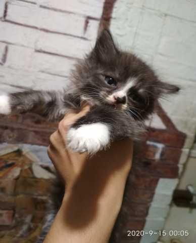 Продам: Котята сибирской кошки