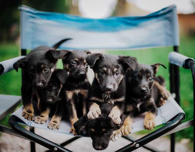 Отдам даром: Очаровательные щенки в дар, вырастут неб