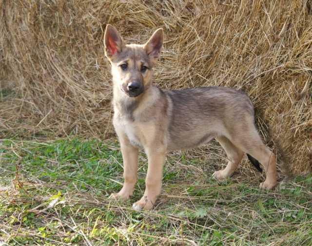 Отдам даром: Привитый щенок в дар