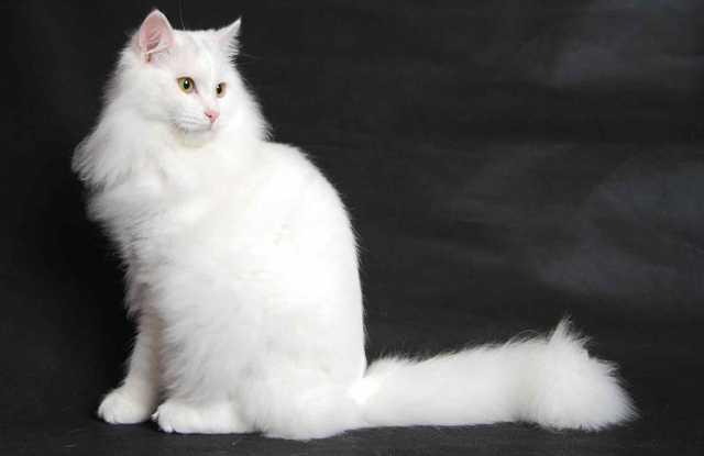 Отдам даром: Кошка Беллочка в поиске дома