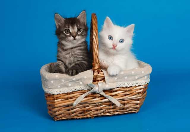 Продам: Продам котят чистокровной турецкой ангор