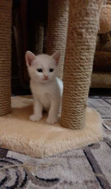 Отдам даром: Белый котенок мальчик