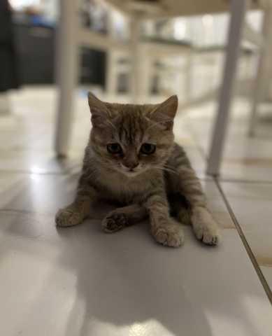 Продам: Отдам котёнка(девочку) в добрые руки