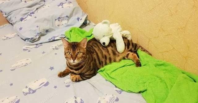 Отдам даром: Бенгальская кошка