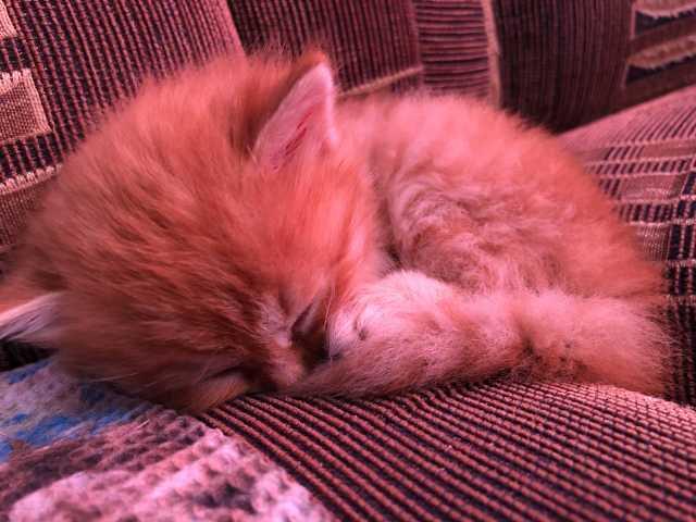 Отдам даром: Котёнок с британской «примесью»