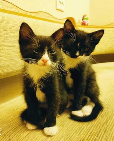 Отдам даром: Котята, мальчики 2 месяца