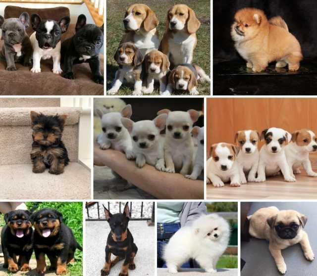 Продам: продажа щенков