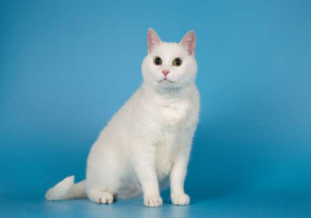Отдам даром: Ласковая белая британская кошка Лаура
