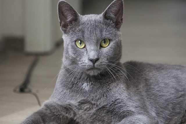 Отдам даром: Кот русская голубая