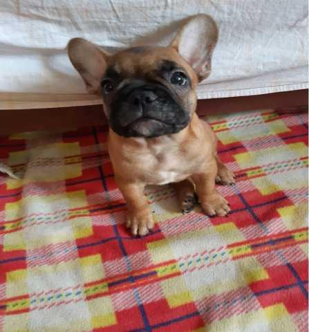 Продам: Продаются щенки