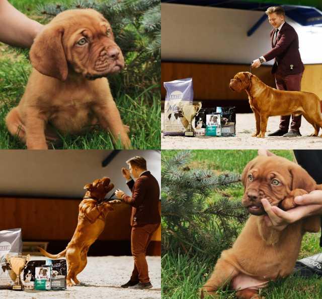 Продам: Бордоский дог щенки