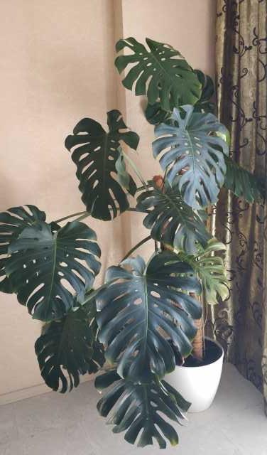 Продам: комнатное растение Монстера
