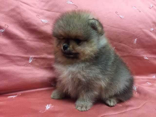 Продам: Шикарные щенки померанского шпица