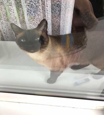 Отдам даром: Кот Тайский