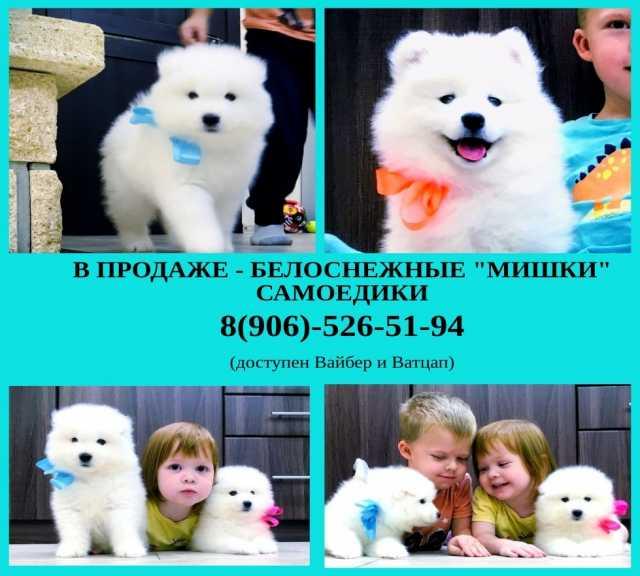 Продам: Красивые собачки самоеды