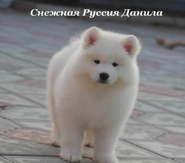 Продам: Самоед щенки