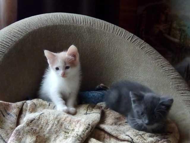 Отдам даром: Котята, 1,5 месяца