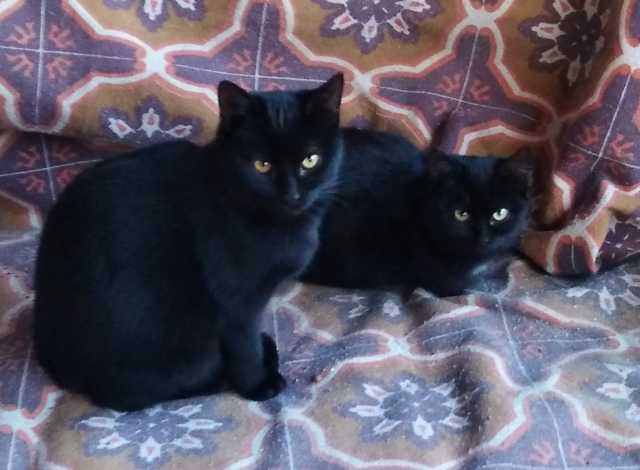 Отдам даром: Котята Кошечки Чернышки